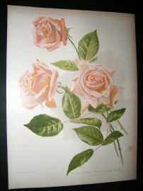 Amateur Gardening 1902 Botanical Print. A Beautiful Tea-Scented Rose